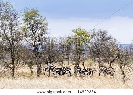 Plains Zebra In Kruger National Park