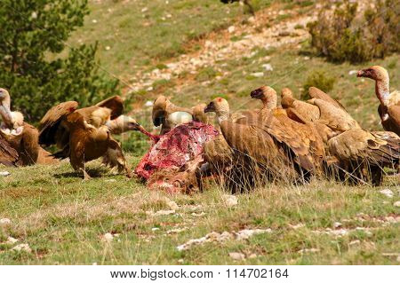 Feast of vultures eating a dead deer