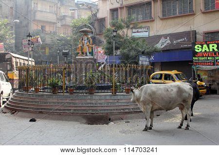 KOLKATA, INDIA - NOVEMBER 28, 2012: Cows roam the streets of Kolkata, West Bengal, India, on November 28, 2012.