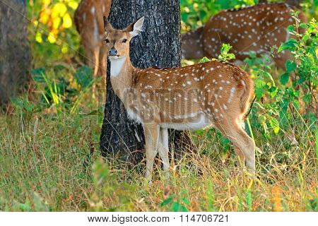 Female spotted deer or chital (Axis axis), Kanha National Park, India