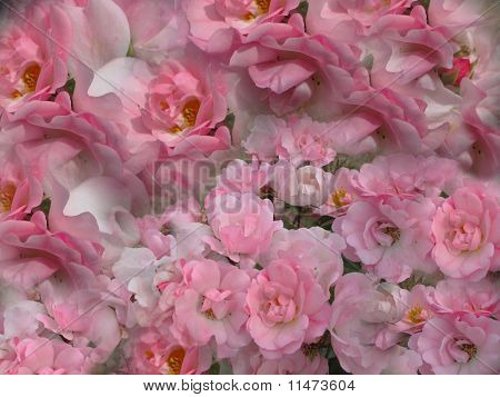 Background Pink Roses