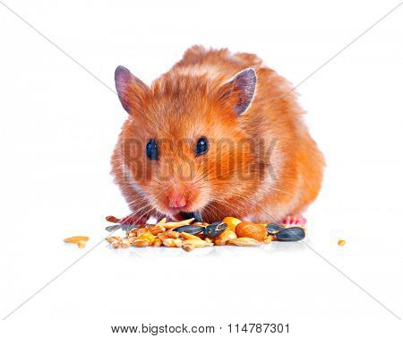 Hamster. Eating little Cute pet isolated on a white background