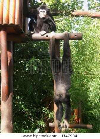 White-Handed Gibbon 2