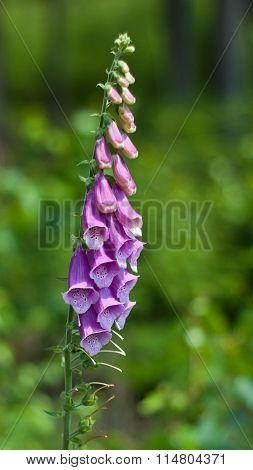 Foxglove I., Digitalis Purpurea, Medicinal Plant