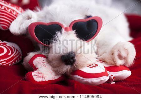 Sealyham Terrier puppy in pink glasses in heart-shaped