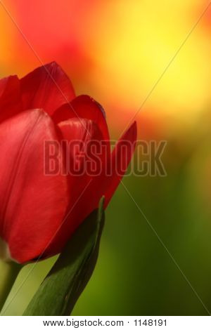 Red Tulip With Colored Background