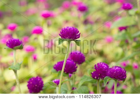 Globe Amaranth Beauty Flower, Bachelor Button