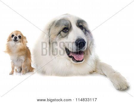 Pyrenean Mountain Dog And Chihuahua