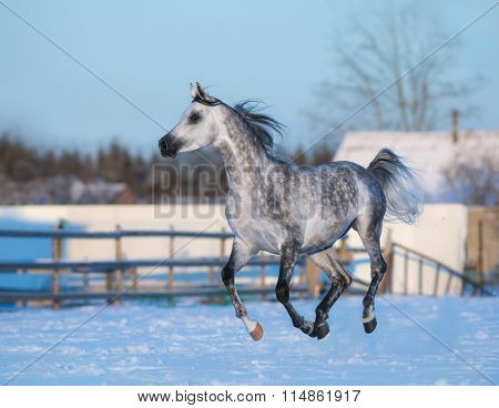 Galloping elegant stallion of purebred Arabian breed