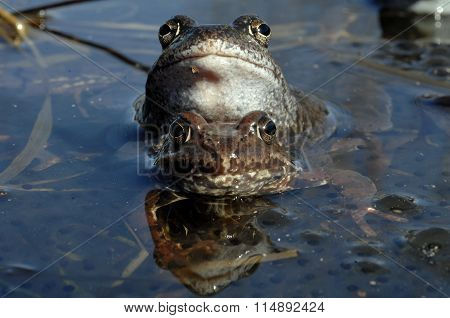 Common Frog (rana Temporaria) Mating, Also Known As The European Common Frog,