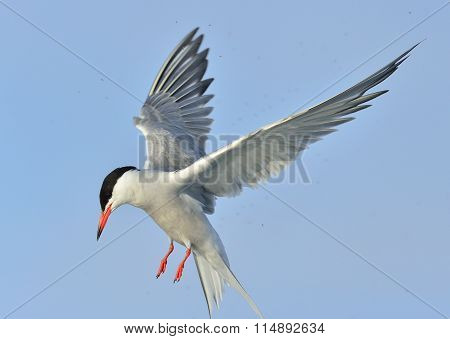 Adult Common Tern In Flight On The Blue Sky Background. Blue Sky Background