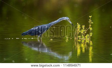 Adult Little Blue Heron (Egretta caerulea) fishing, goes on water on green natural background, Cuba