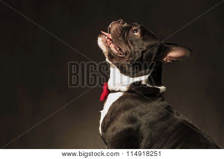 side view of a curious french bulldog puppy dog looking up with mouth open and wearing a red bow tie instudio