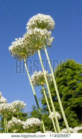 Bouquet of white agapanthus on navy blue sky.