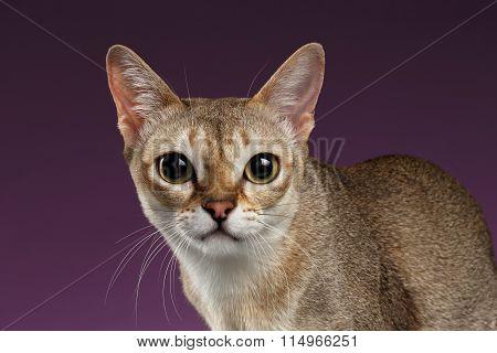 Closeup Singapura Cat Looking In Camera On Purple