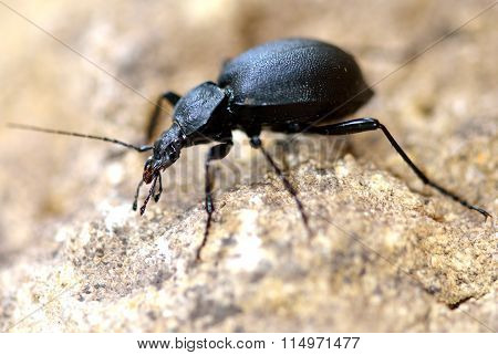 Snail hunter beetle (Cychrus caraboides)