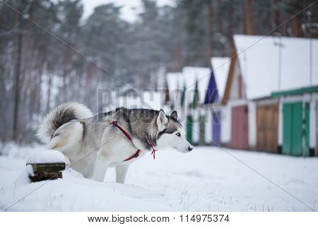 Siberian Husky Defecates.