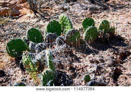 Cactus, Arches National Park