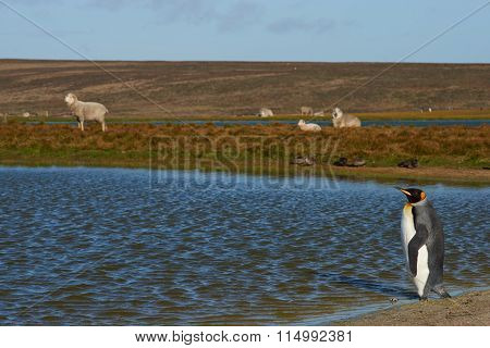 King Penguin and Sheep