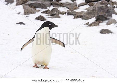 Adelie Penguin On Paulet Island, Antarctica