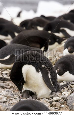 Adelie Penguin With Hatchingling