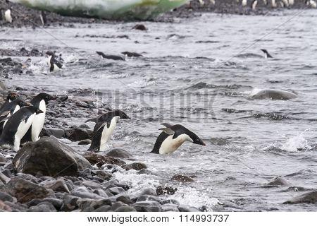 Adelie Penguins Swimming, Paulet Island, Antarctica