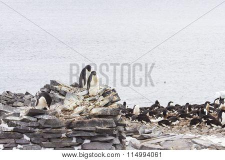 Nesting Adelie Penguins, Stone Hut, Pallet Island, Antarctica