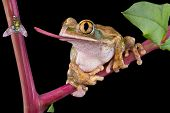A bog-eyed tree frog is trying to catch a fly with his tongue. poster