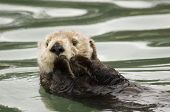 this is a photo of a sea otter taken in elk horn slough. poster