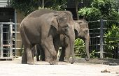 Endangered Asian Elephants are part of a zoo breeding program Sydney Australia. poster