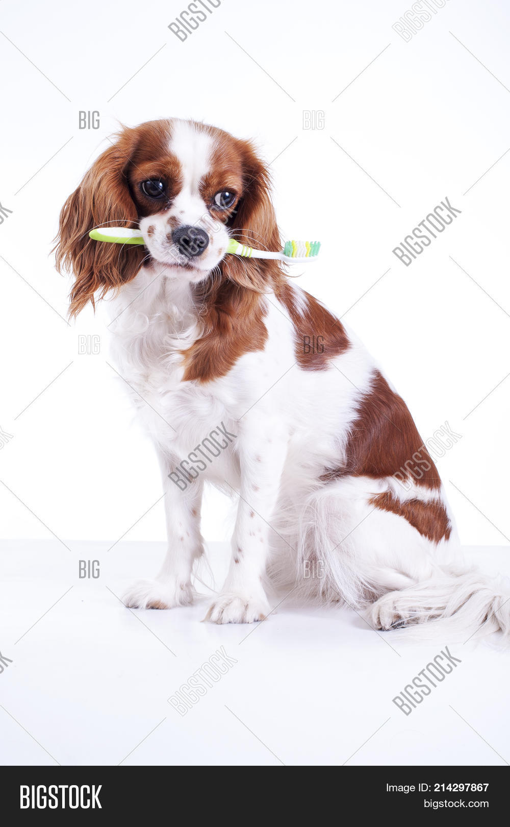 Download King Charles Canine Adorable Dog - 214297867  Best Photo Reference_615245  .jpg