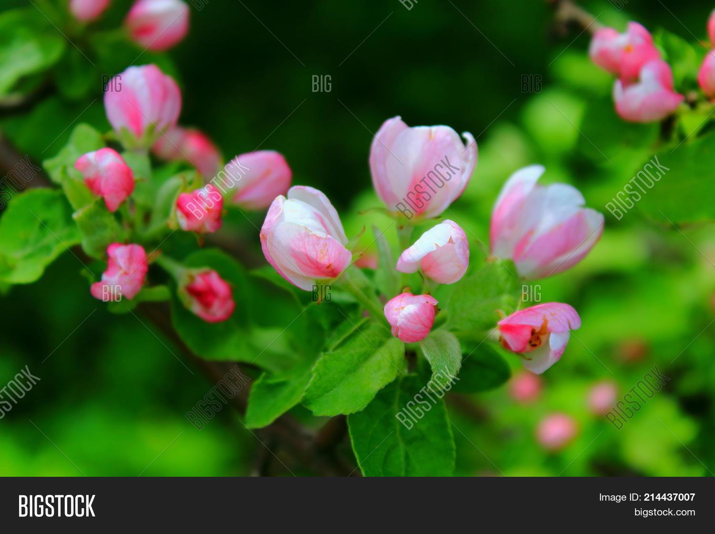 Apple Trees Blooming Image Photo Free Trial Bigstock