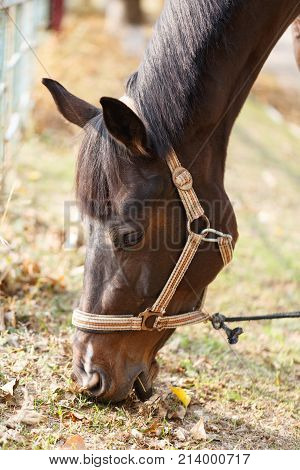 A beautiful brown horse eats grass and dry leaves bending over to the ground. Outdoors. Close up.