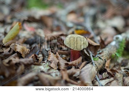 Satanic fungus. White agaric. Fly agaric. Poisonous mushroom growing in forest. amanita. Pure poison.