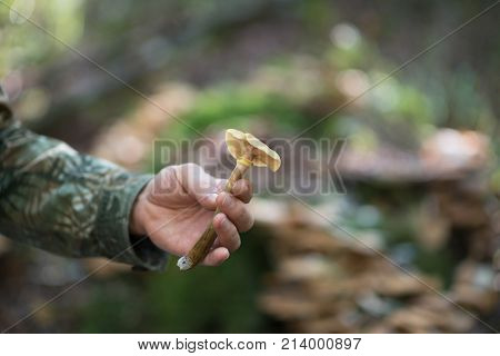 Honey agaric. Male hand with mushroom