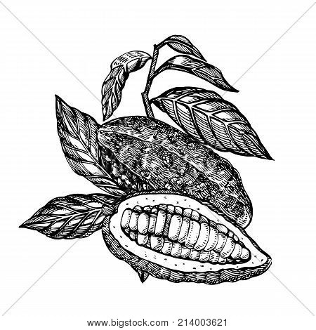 Chocolate Cocoa beans vector illustration. Engraved style illustration. Sketched hand drawn cacao beans, tree, leafs and branches