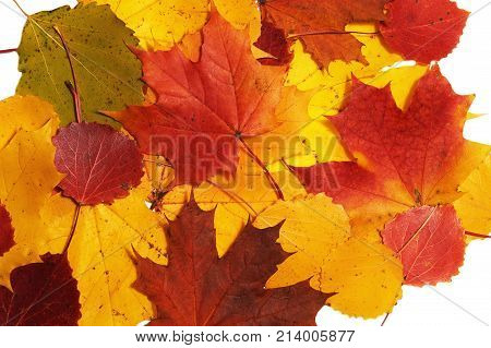 Red yellow maple and asp leaf on white background