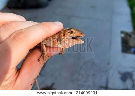 Close up hand holding Oriental garden lizard or Calotes versicolor with open mouth