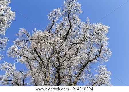 The photo shows a tree with hoarfrost in the sun with blue sky