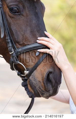 The muzzle of a beautiful dark horse in a harness, which is ironed by a female hand. Close up. Outdoors.
