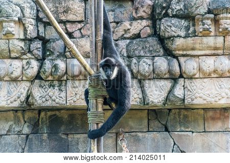 Northern White-Cheeked Gibbon swinging around in the sun
