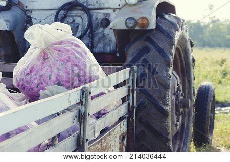 Roses Bulgaria Bag Truck Picking Agronomy Industry
