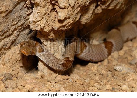 The Texas lyre snake photographed crawling in a rocky crevice.