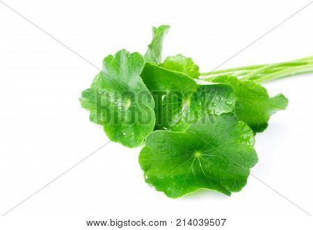 Closeup leaf of Gotu kola Asiatic pennywort Indian pennywort on white background herb and medical concept selective focus