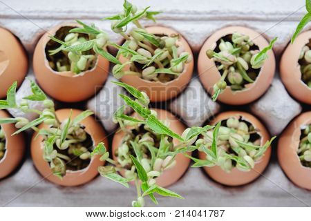 seedling plants in eggshells eco gardening montessori education reuse concept