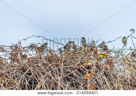 Sparrows On A Bush In The Autumn.