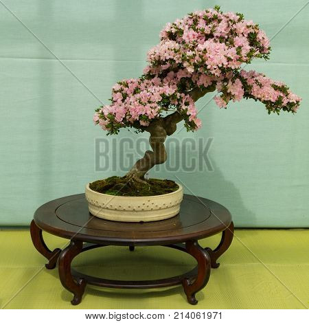 Kyoto, Japan - May 21, 2017: Pink flowering azalea bonsai tree in a pot at an exhibition in the Kyoto botanical garden