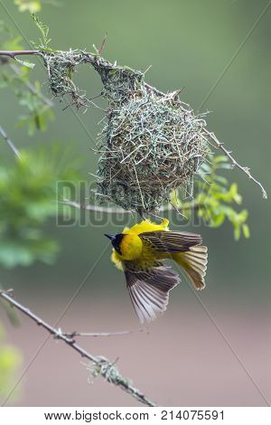Lesser masked weaver in Kruger national park, South Africa Specie Ploceus intermedius family of Ploceidae