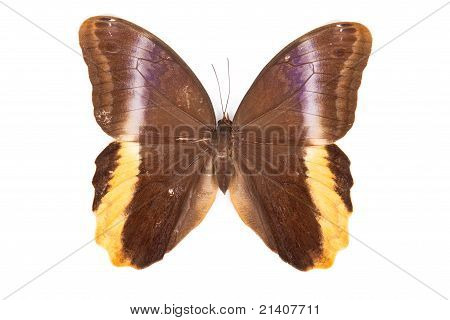 Brown And Yellow Butterfly Caligo Atreus Isolated On White Background