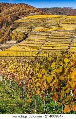 Wine Growing On Terraces In The Wachau With Autumnally Discolored Leaves